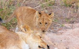 Primer del cachorro de león (panthera leo) Foto de archivo
