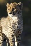 Primer del cachorro del guepardo Foto de archivo libre de regalías