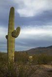 Primer del cactus Foto de archivo libre de regalías