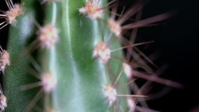 Primer del cactus con las agujas en fondo negro Fragmento del pequeño cactus alargado en el pote marrón en negro aislado almacen de video