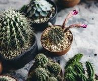 Primer del cactus real en potes Fotos de archivo