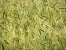 Primer del campo de la cosecha de la cebada en los lagos NYS finger Imagen de archivo libre de regalías