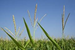 Primer del campo de maíz Foto de archivo