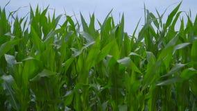 Primer del campo de maíz Toma panorámica en campo de maíz Tallos del maíz que se sacuden en viento almacen de metraje de vídeo