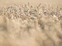 Primer del campo de trigo imágenes de archivo libres de regalías