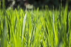 Primer del campo del arroz Fotografía de archivo libre de regalías