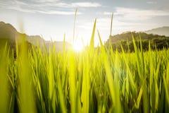 Primer del campo soleado del arroz Imagenes de archivo