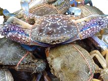 Primer del cangrejo azul Imagenes de archivo