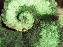 primer del caracol de la begonia Begonias de Rex Foto de archivo libre de regalías