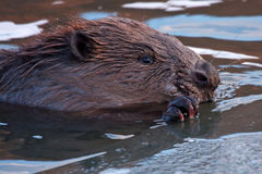 Primer del castor eurasiático Imagenes de archivo