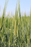 Primer del cereal del trigo Fotografía de archivo libre de regalías