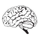 Primer del cerebro del gráfico Foto de archivo libre de regalías