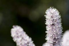Primer del Cimicifuga con algunas flores en fondo Fotografía de archivo libre de regalías