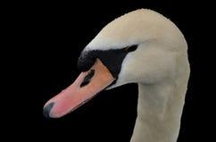 Primer del cisne Imagen de archivo libre de regalías