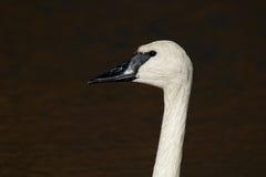 Primer del cisne de trompetista Fotografía de archivo