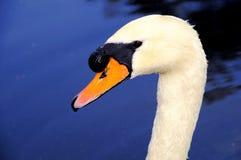 Primer del cisne delante del agua azul Fotografía de archivo