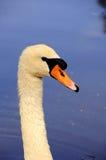 Primer del cisne en el lago Imagen de archivo libre de regalías