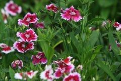 Primer del clavel rosado Fotografía de archivo libre de regalías
