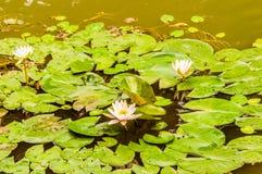 Primer del cojín de lirio con tres flores de loto blanco Fotografía de archivo