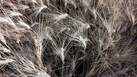 Primer del contexto del trigo