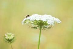 Primer del cordón y de la abeja del ` s de la reina Anne Fotografía de archivo