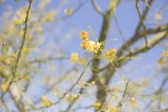 Primer del crecimiento de flores amarillo en rama de árbol en desierto Fotografía de archivo libre de regalías