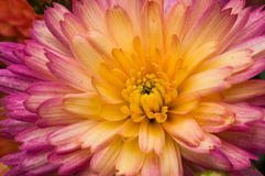 Primer del crisantemo Foto de archivo libre de regalías