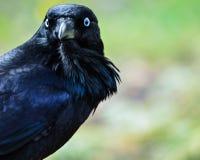 Primer del cuervo Fotos de archivo