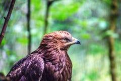 Primer del descendiente del águila de oro fotos de archivo