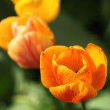 Primer del descenso anaranjado del tulipán y de la lluvia Imagen de archivo libre de regalías