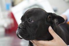 Primer del dogo francés conmovedor del veterinario Fotografía de archivo libre de regalías