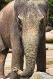 Primer del elefante Fotografía de archivo libre de regalías