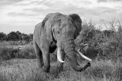 Primer del elefante foto de archivo