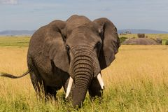 Primer del elefante africano fotos de archivo libres de regalías