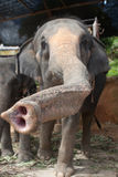 Primer del elefante hacia cámara Imagen de archivo