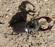 Primer del escarabajo de macho Imagen de archivo