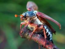 Primer del escarabajo de mayo en el palillo imagenes de archivo
