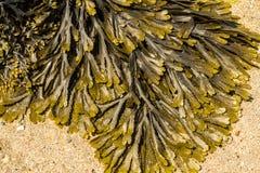 Primer del estante comúnmente dentado del serratus del Fucus de la alga marina foto de archivo libre de regalías