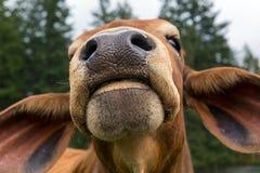 Primer del Facial del ganado del brahmán Foto de archivo