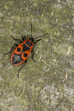 Primer del firebug Pyrrhocoris Apterus Macro Fotos de archivo libres de regalías