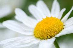 Primer del flor de la margarita Fotografía de archivo libre de regalías
