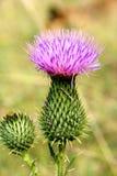 Primer del flor del cardo Imagen de archivo
