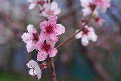 Primer del flor del melocotón en el verdor borroso Fotos de archivo libres de regalías