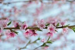 Primer del flor del melocotón en el verdor borroso Fotografía de archivo libre de regalías