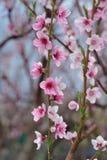 Primer del flor del melocotón en el verdor borroso Imagen de archivo libre de regalías