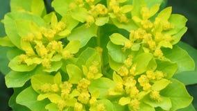 Primer del flor del euforbio El vídeo natural con el bosque florece el detalle Sharping, enfocando, detalló el estambre y el pist almacen de metraje de vídeo