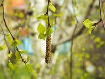 Primer del florecimiento de un abedul en primavera Fotografía de archivo libre de regalías
