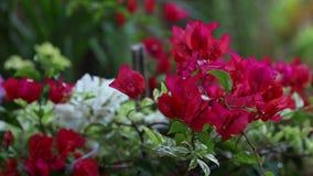 Primer del flores rojas brillantes en el parque asiático al aire libre Bali, Indonesia Fondo colorido hermoso El viento es almacen de video