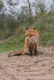 Primer del Fox Foto de archivo