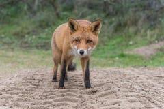 Primer del Fox Fotografía de archivo
